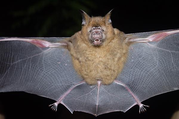 Vampire Bat Feeding