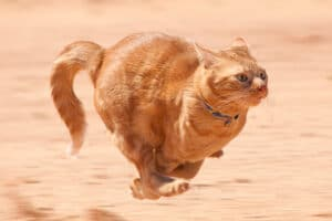 House Cats can reach speeds of 30 MPH.